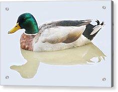 Mallard Duck Acrylic Print by Paulette Thomas