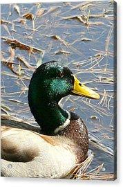 Mallard Duck Portrait Acrylic Print by Neal Eslinger