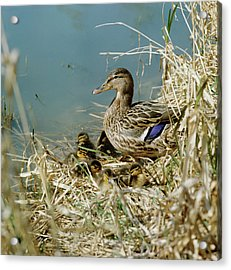 Mallard Duck With Young Acrylic Print