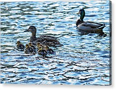 Mallard Ducks Acrylic Print by Babak Tafreshi
