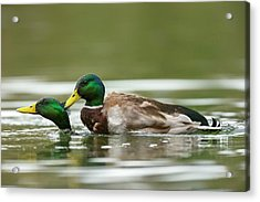 Mallard Ducks Same-sex Sexual Behaviour Acrylic Print