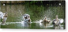 Mallard Ducks Acrylic Print by Steve Allen/science Photo Library