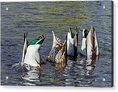 Mallard Ducks Upending And Feeding Acrylic Print