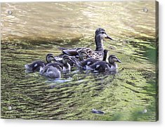 Mallard Family On Green Water Acrylic Print