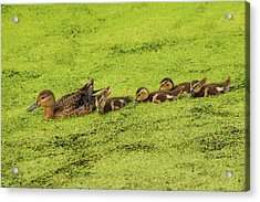 Mallard Female And Ducklings In Algae Acrylic Print