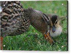 Mallard Hen And Duckling Acrylic Print