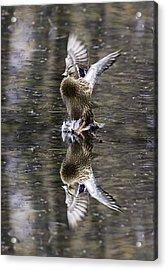 Mallard Hen Landing Acrylic Print