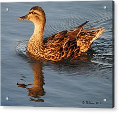Mallard Hen Swimming Acrylic Print by Dan Williams