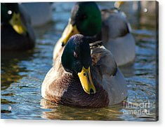 Mallard In The Morning Sun Acrylic Print