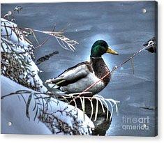 Mallard In Winter Acrylic Print