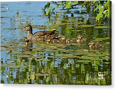 Mallard Mom And The Kids Acrylic Print by Sharon Talson