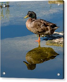 Mallard Reflection Acrylic Print