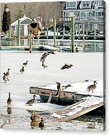 Acrylic Print featuring the photograph Mallards In Motion by Constantine Gregory