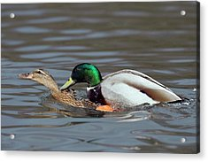 Mallards Mating Acrylic Print
