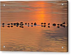 Mallards On Ice Edge During Sunset Acrylic Print