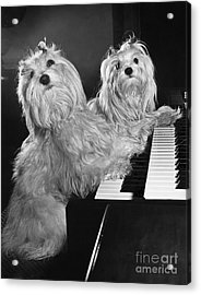 Maltese Pups Acrylic Print by M. E. Browning