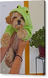 Acrylic Print featuring the photograph Malti-poo Frog A True Mongrel by Brenda Pressnall