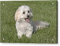 Maltipoo Puppy Sitting In The Grass Acrylic Print