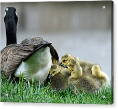 Mama And Goslings Acrylic Print by Lisa Phillips
