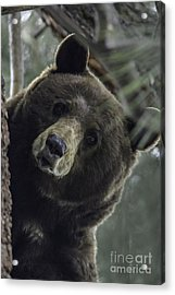 Acrylic Print featuring the photograph Mama Bear by Mitch Shindelbower