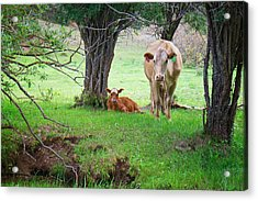 Mama Cow And Calf Acrylic Print by Mary Lee Dereske