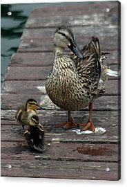 Mama Duck And Ducklings Acrylic Print by Pamela Walton