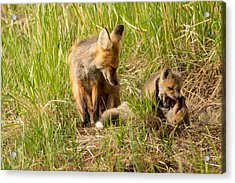 Mama Fox And Kits 2 Acrylic Print by Natural Focal Point Photography