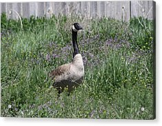 Mama Goose Acrylic Print by Kelsey Walks