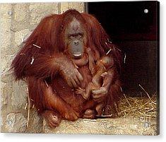 Mama N Baby Orangutan - 54 Acrylic Print by Gary Gingrich Galleries