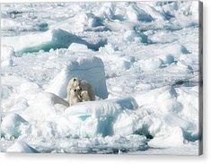 Mama Polar Bears And Cubs Acrylic Print