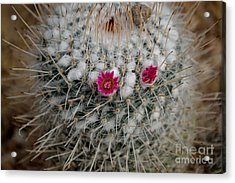 Acrylic Print featuring the photograph Mammillaria Geminispina by Scott Lyons