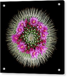 Mammillaria Spinosissima In Flower Acrylic Print