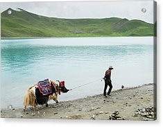 Man Pulling Decorated Yak Along Waters Acrylic Print