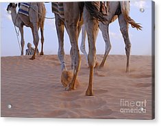 Man With Three Camels By A Sand Dune Acrylic Print by Sami Sarkis