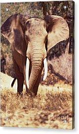 Mana Pools Elephant Acrylic Print