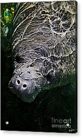 Acrylic Print featuring the photograph Manatee 01 by Melissa Sherbon