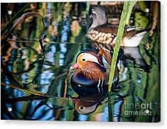 Mandarin Duck Reflections Acrylic Print by Peta Thames