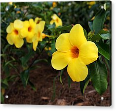 Mandevilla Acrylic Print by Judy Vincent