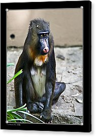 Acrylic Print featuring the photograph Mandril by Pedro L Gili