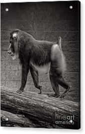 Mandrill Acrylic Print by HD Connelly