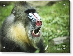 Mandrill Acrylic Print by Rich Collins
