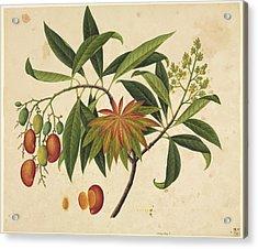 Mangifera Indica, 19th-century Artwork Acrylic Print by Science Photo Library