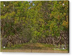 Mango Orchard Acrylic Print by Douglas Barnard