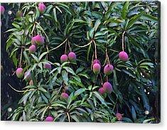 Mango Tree, Honduras Acrylic Print