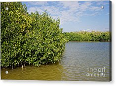 Mangrove Fores Acrylic Print by Carol Ailles