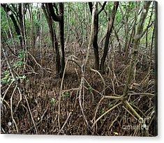Mangrove Roots Acrylic Print