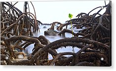 Mangrove Tree Roots Detail Acrylic Print by Dirk Ercken