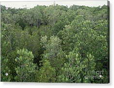 Mangrove Trees Acrylic Print by Gregory G. Dimijian, M.D.