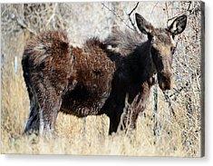 Mangy Moose Acrylic Print