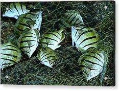 Manini Catch Acrylic Print by Lehua Pekelo-Stearns